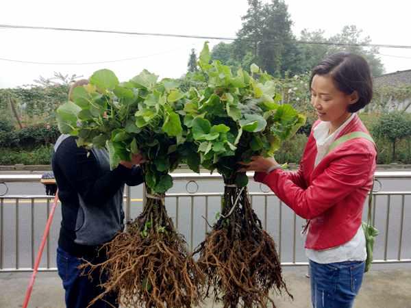 红心猕猴桃苗木培育,可采用实生播种,嫁接,扦插,压条和组织培养等多种