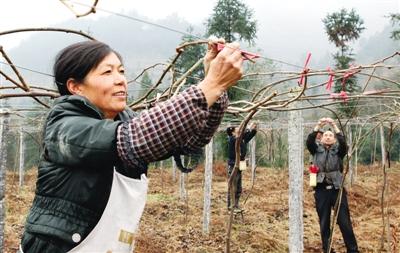 指導果農對全區4萬余畝獼猴桃果樹進行修剪,施肥,刷白,病蟲害防治等管