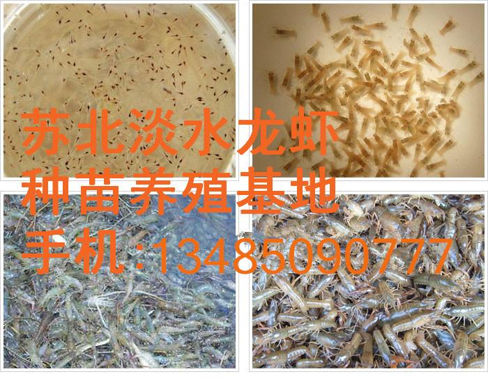 小龙虾种苗