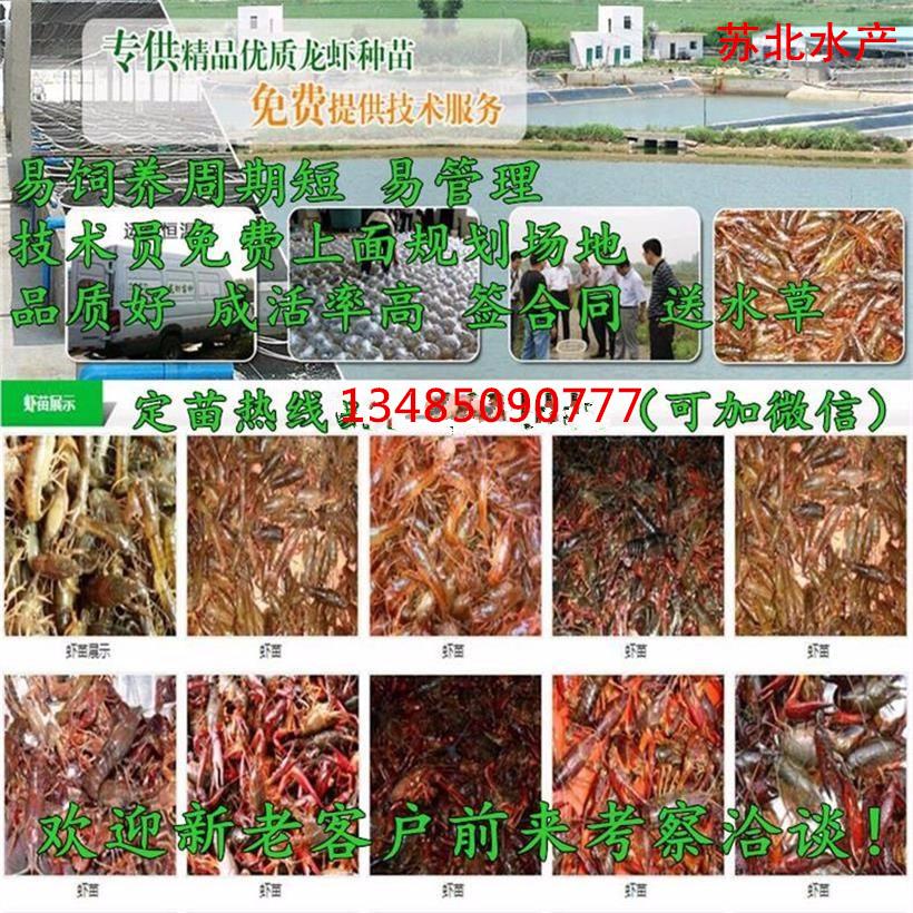 春季龙虾种苗预定中