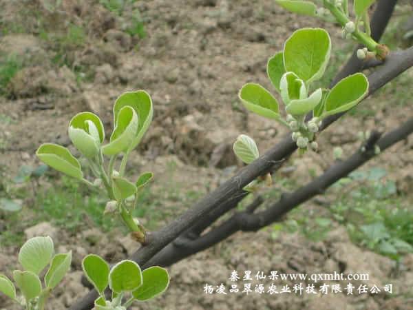 美味猕猴桃一般在3月中旬至3月底开始追萌芽肥