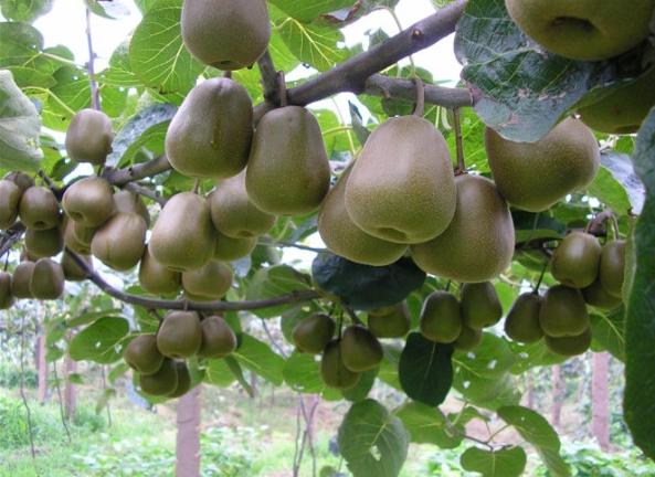 猕猴桃病虫害的防治方法